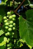 Klunga av gröna omogna druvor på en druvabuske Arkivfoto