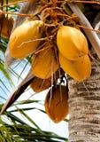 Klunga av guld- kokosnötter på en kokosnöttree Fotografering för Bildbyråer