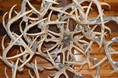 Klunga av hjorthorn på kronhjort Royaltyfri Fotografi