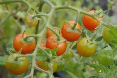 Klunga av körsbärsröda tomater Fotografering för Bildbyråer