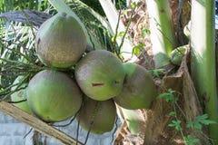 Klunga av kokosnöten på kokospalmen Arkivfoto