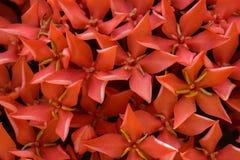 Klunga av Mini Flowers av Ixora Arkivbild