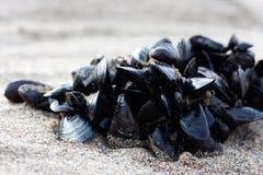 Klunga av musslor royaltyfri foto