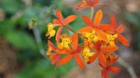 Klunga av orange - gula jordorkidéblommor royaltyfria bilder