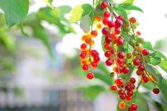 Klunga av röda bär på frunchen av trädet i byn gard Fotografering för Bildbyråer