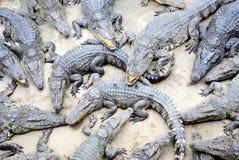 Klunga av reptilar, Siamese krokodil arkivfoto