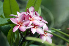 Klunga av rosa frangpaniblommor Royaltyfri Fotografi