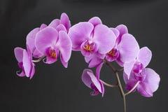 Klunga av rosa orkidér royaltyfria foton