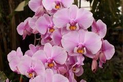 Klunga av rosa Phalaenopsis royaltyfria bilder
