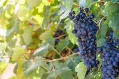 Klunga av saftiga druvor på ett vin backlit med solljus Selecti arkivfoton