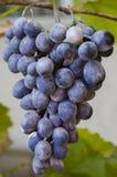 Klunga av violetta druvor på en filial Arkivbild