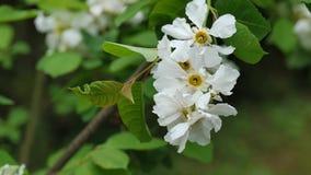 Klunga av vita dekorativa vårblommor på en buske, 4K stock video