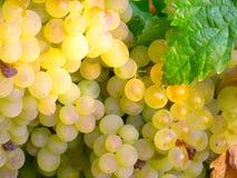 Klunga av vita druvor på vine1en Royaltyfri Bild
