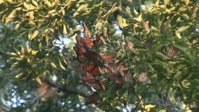 Klunga för flyttning för monarkfjäril stock video