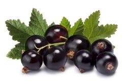 Klunga (grupp) av svart vinbär arkivbild