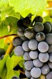 klungadruvor producera röd shiraz wine Royaltyfri Fotografi