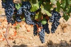 klungadruvor som ripening wine Royaltyfri Fotografi