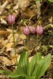 Klungan av häftklammermataren för ` s för den rosa damen blommar i New Hampshire royaltyfri bild