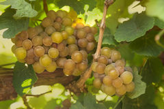 Klungan av vita druvor hänger på en stång Royaltyfria Foton