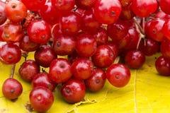 Klungor av den röda viburnumen royaltyfria bilder