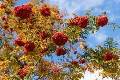Klungor av rött ashberry Fotografering för Bildbyråer