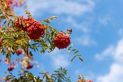 Klungor av rött ashberry Arkivbilder