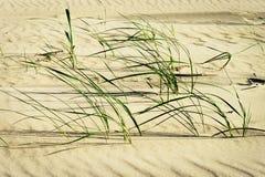 Klungor av stranden gräs eller sandpapprar ryegrassLeymusarenariusen som växer på dyn på den baltiska kusten Arkivfoton