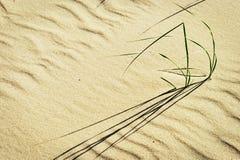Klungor av stranden gräs eller sandpapprar ryegrassLeymusarenariusen som växer på dyn på den baltiska kusten Royaltyfri Bild