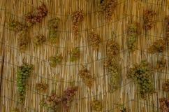 Klungor av vita druvor som hänger för att torka Fotografering för Bildbyråer