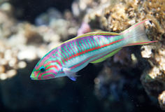 Klunzinger's wrasse. (Wrasses). Flora and fauna of the Red Sea Royalty Free Stock Image