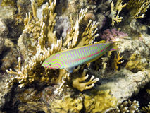 Klunzinger's Wrasse fish Stock Image
