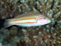 Klunzinger`s wrasse Stock Photography