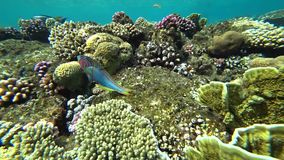 Klunzinger`s wrasse swims through the frame on a background of corals. stock video footage
