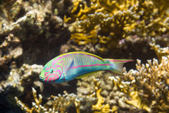 Klunzinger`s wrasse Thalassoma rueppe. Underwater shot in nature. Red Sea, Egypt stock image