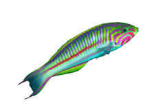 Klunzinger's wrasse Royalty Free Stock Photos