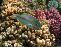 Klunzinger`s wrasse - Thalassoma rueppellii. Klunzinger`s wrasse in the Reef, Red Sea royalty free stock photo