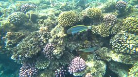 Klunzinger`s wrasse swims through the frame on a background of corals. stock video