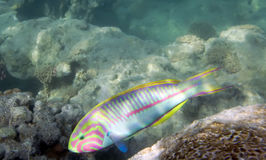 Klunzinger wrasse Royalty Free Stock Photography