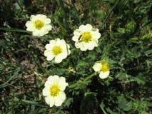 Kluskowaty żywopłotu hizop - Saskatchewan Wildflower Obraz Royalty Free