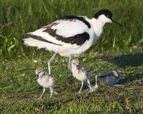 Kluut,染色长嘴上弯的长脚鸟, Recurvirostra avosetta 免版税库存照片