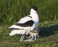 Kluut, avocetta pezzata, avosetta del Recurvirostra fotografia stock libera da diritti