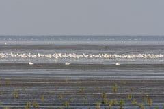 Kluut, gescheckter Avocet, Recurvirostra avosetta stockfotos