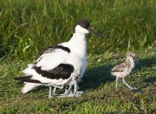 Kluut, Pied Avocet, Recurvirostra avosetta zdjęcie stock