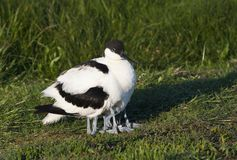 Kluut, Pied Avocet, Recurvirostra avosetta. Kluut rustend met jongen onder de vleugels in het Wagenjot, Texel; Pied Avocet resting with chicks under its wings on stock photos