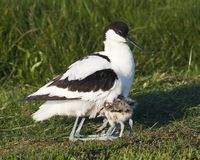 Kluut, Pied Avocet, Recurvirostra avosetta. Kluut rustend met jongen onder de vleugels in het Wagenjot, Texel; Pied Avocet resting with chicks under its wings on royalty free stock photo