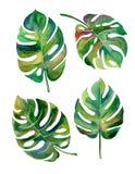 Kluven bladPhilodendronvattenfärg på den vita bakgrundsvektorn Arkivbild