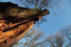 Kluvet träd Arkivfoton