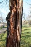 Kluvet träd Royaltyfri Fotografi