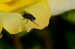 Klyftig liten fluga som vilar på kanten av den delikata gulingrosen Royaltyfri Foto
