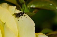 Klyftig liten fluga som vilar på kanten av den delikata gulingrosen Royaltyfria Foton
